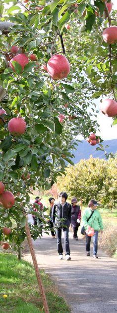 相之島のりんご畑