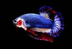 Betta fish have been bred previously to reproduce the colours of the Thai flag but none have come close. Flag Colors, Colours, Thailand, Betta Fish Care, Beta Fish, Siamese Fighting Fish, Beautiful Fish, Pretty Fish, Pictures Of The Week
