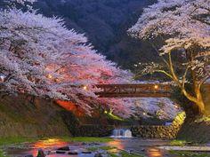 Cherry Trees,Kyoto, Japan - Pixdaus
