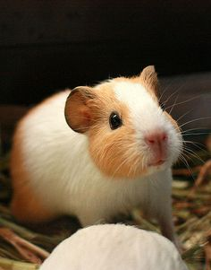 Samson the adoptable guinea pig | by fizzyjess