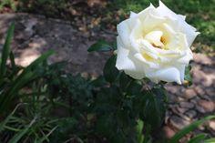 Rosa blanca.