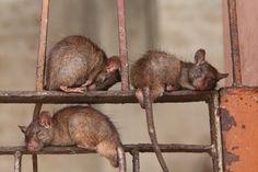 sleepy rats, holy rat temple, India