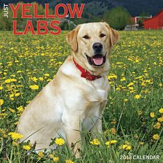 Just Yellow Labs Wall Calendar: Twelve dazzling full-color photographs comprise a one year tribute that captures all the intelligence, athleticism and cheerfulness of Yellow Labs.  $14.99  http://www.calendars.com/Yellow-Labs/Just-Yellow-Labs-2013-Wall-Calendar/prod201300006039/?categoryId=cat10088=cat10088#