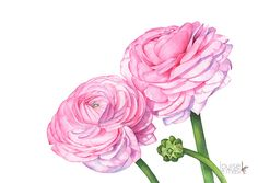 This listing is for an archival print of my original watercolor painting of some beautiful Ranunculus that I bought from the florist. Paper Size: - inches x inches or x 21 cm Landscape Orientation. This print is available in three sizes: Watercolor Print, Watercolour Painting, Watercolor Flowers, Painting Prints, Watercolors, Flower Prints, Flower Art, Ranunculus, Anemones