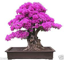 100 Seeds of purple Bougainvillea Spectabilis Bonsai Tree Buganvillea Buganvilla