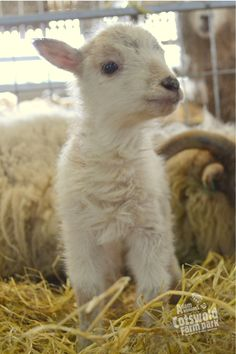 The first of our Boreray lambs.