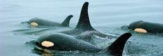 Whale Fest in Sitka, Alaska,  October 31 - Nov 3