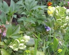 """HELLEBORE - DO NOT... I REPEAT """"DO NOT"""" attempt to collect Hellebore Seeds from green seed pods!  Let them completely DRY ON THE STEMS prior to harvesting... INFORMATIVE article on these plants..."""