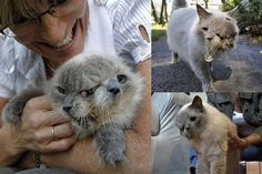 """Cat With Two Faces:  Meet Frank and Louie! He's a cat with two faces, and last year he entered the Guinness World Records as the longest surviving cat with this condition. Male cats with this are referred to as """"Janus cats"""". Janus cats appear to be conjoined twins, but their condition is actually known as Diprosopus and is the result of a protein called sonic hedgehog homolog"""