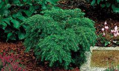 Vintergrønne planter KANADAHEMLOKK 'JEDDELOH'  Tsuga canadensis 'Jeddeloh'  Lav utbredtvekst vekst med grønne nåler. Halvskygge. Fuktig, men godt drenert jord. Lav ph.Passer godt i krukker og i bed. Ca høyde: 0,5-1 m. Pl avs: 1-2 m. H-3