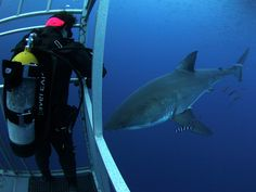 Cage diving with great white sharks @ Isla Guadalupe near Ensenada, Mexico.