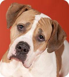 Chicago, IL - American Bulldog/Mastiff Mix. Meet Pebbles a Dog for Adoption.