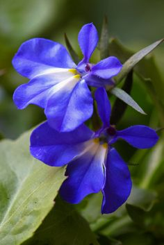 Lobelia - Malevolence - This flower will always have a special place in my heart and soul.