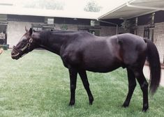 Secretariat's old rival, Sham, Spendthrift Farm, KY, August 1, 1989