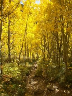 Aspen trees changing color in the Fall. Vail, Co