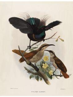 23 Prince Albert's Rifle Bird