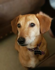 29 Best Dachshund And Jack Russell Mix Images Jack