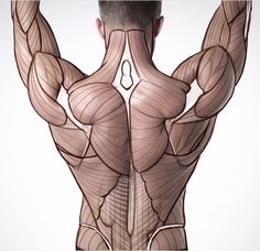 Anatomy construction back muscles Anatomy Back, Muscle Anatomy, Anatomy Study, Body Anatomy, Human Reference, Figure Drawing Reference, Anatomy Reference, Anatomy Sketches, Anatomy Drawing