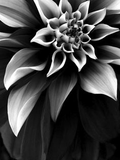 Deep Winter, Color Pencil Art, Botanical Art, Dahlia, Black And White Photography, Beautiful Flowers, Backdrops, Art Projects, Art Photography