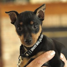 min pin puppies are to die for! My min pin looked just like this!