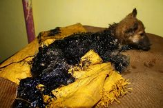 WATCH: Puppy Covered In Tar Rescued