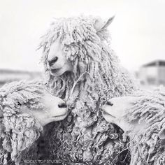 Sheep Art Animal Photography Sheep Photograph door RockyTopPrintShop, $15.00