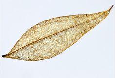 木の実験・観察研究室 葉脈しおりを作ろう |きこりんの森 Diy And Crafts, Plant Leaves, Handmade, Hand Made