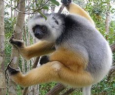 The diademed sifaka, Propithecus diadema, is an endangered lemur endemic to eastern Madagascar. Primates, Mammals, Lynx, Madagascar, Animals Beautiful, Cute Animals, Beautiful People, New World Monkey, Slow Loris