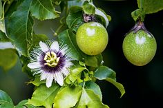 An extremely vigorous vine, passionfruit (Passiflora edulis) is native to South America, and is the national flower of Paraguay. It has striking white and purple flowers that are produced before the fruit, and the vine climbs by means of tendrils that twine around a support. The fruit, which can be purple, red or golden, is full of goodness and low in kilojoules. It contains vitamin C, B vitamins riboflavin and niacin, plus fibre, iron, phosphorus and potassium.