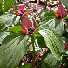 Trillium recurvatum (Prärietreblad)