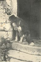 Bearded Collie Early History