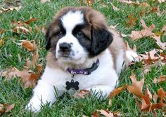Bernie the Saint Bernard