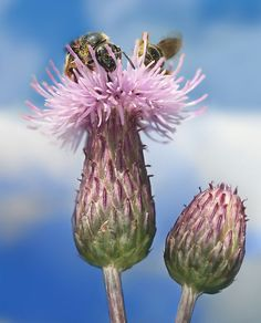 Cirsium arvense with Bees Richard Bartz - Wikipedia:Featured pictures/Plants/Flowers - Wikipedia, the free encyclopedia