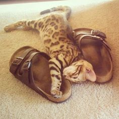 Happy Thursday! Just had to share this adorable kitty snuggling with a pair of #Birkenstock Arizona #sandals !