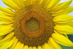 How to Grow and Care for Sunflowers in Containers.
