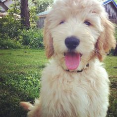 Not quite like my golden doodle but still so adorable!