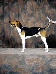 Treeing Walker Coonhound. Looks like My Big Man Hillbiily Boone