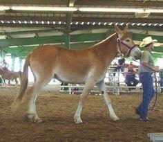 Big Mule.mama must've been a Belgian!