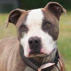Name: Joel Age: 1 year Weight: 50 lbs Breed: Pit mix Meet Joel! He is good with kids, dogs, cats and anything else! He is low to medium energy, super smart and loyal! He is crate trained as well as house broke. He is also great on a leash! #rescue #adopt #pitbull #dog