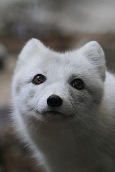 Arctic Fox being beautiful