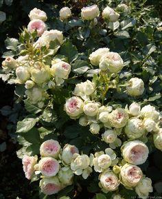 'Pompon Flower Circus ' Rose Photo