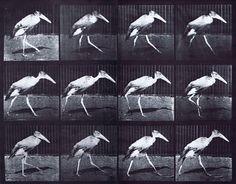 Muybridge - Adjuctant Bird Walking