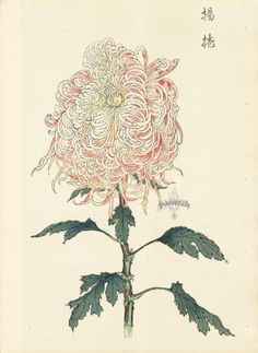 from Art of the Japanese Chrysanthemum Chrysanthemum Drawing, Japanese Chrysanthemum, Chrysanthemum Flower, Japanese Flowers, Japanese Art Styles, Japanese Prints, Japan Painting, Ink Painting, Botanical Illustration