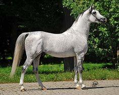 Albano (Enzo (US) x Alena (PL))  Stallion, grey, 2007 fot. Lidia Pawłowska (2014)