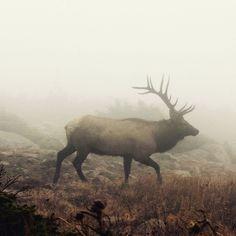 Kalliovuorten 5 söpöintä eläintä: vapiti eli elk! #eläimet #Colorado