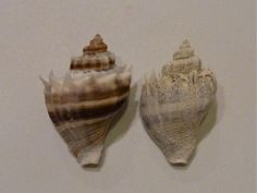 HOW TO RESTORE COLOR TO YOUR SEASHELLS TUTORIAL using Muriatic acid OR bleach methods. Kings Crown cleaned not cleaned