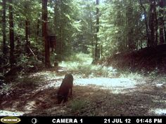 Alabama wild hog caught on trail cam in titus, Alabama. He is eating a corn mixture that has been buried in a deep hole. http://ithappensinalabama.com/hunting-fishing/