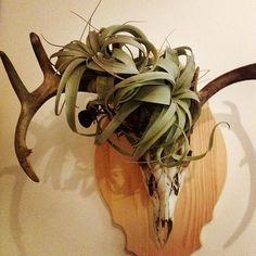 New Tillandsia xerographica air plant hair do!