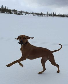 Snow dancer Rhodesian Ridgeback, Beautiful Dogs, Goats, Dancer, Snow, Animals, Cute Dogs, Animales, Animaux
