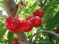 """https://www.tsu.co/rem3600 #food #fruit #cherries #health #heart #cancer #memory #diabetes #sleep #gardening Grow Cherry Trees !  As """"America's super fruit,"""" cherries offer the vital nutrition for a long and healthy life. One cup of cherries contains 90 calories with an ample supply of fiber, protein, and vitamin A and C, says the United States Department of Agriculture (USDA). Read more at - http://www.medicaldaily.com/cherry-health-benefits-6-reasons-why-you-should-eat-more-cherries-246713"""